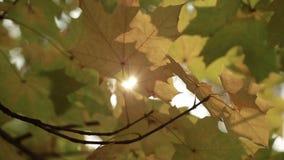 太阳的光芒通过秋天叶子 股票录像