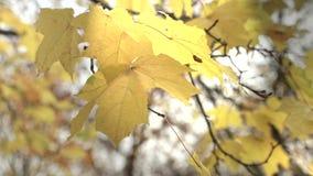 太阳的光芒通过秋天叶子 影视素材