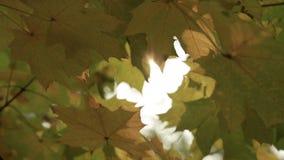 太阳的光芒通过秋天叶子 股票视频