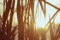 太阳的光芒通过芦苇 免版税库存照片