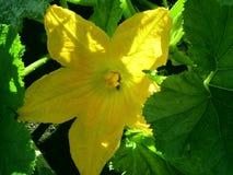 太阳花南瓜,一个美妙的夏天 库存照片