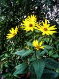 太阳花和蜂 免版税库存图片