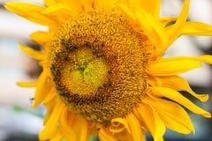 太阳花和蜂 库存图片
