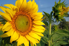 太阳花和蜂 免版税库存照片