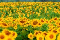 太阳花田在泰国 库存照片