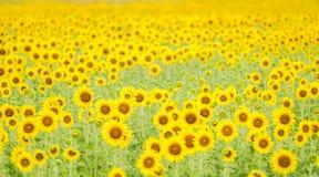 太阳花田 免版税库存图片