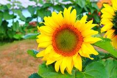 太阳花 图库摄影