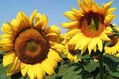 太阳花 库存图片
