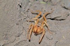 太阳蜘蛛-从非洲的昆虫背景-可怕犬齿 库存照片