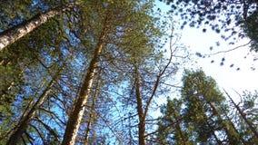 太阳轻发光通过杉树分支 走通过杉木森林和查寻在树全景上面  影视素材