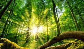 太阳迷惑的绿色森林 库存图片