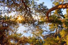 太阳通过一棵杉木的分支在冬天 免版税库存图片