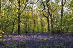 太阳通过会开蓝色钟形花的草森林, Badby森林北安普敦郡点燃铸件阴影 库存图片