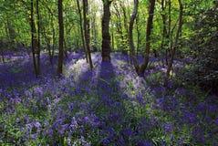 太阳通过会开蓝色钟形花的草森林, Badby森林北安普敦郡点燃铸件阴影 库存照片