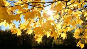 太阳通过分支留下反对湖的黄色槭树发光 股票录像