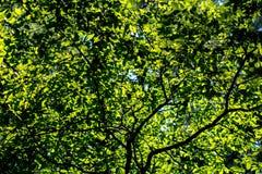 太阳通过叶子发光 库存图片