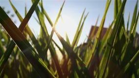 太阳通过叶子发光 股票视频