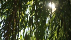太阳通过叶子2发光 股票视频