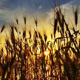 太阳通过在日落的芦苇 库存图片