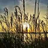 太阳通过在日落的芦苇 免版税图库摄影