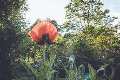 太阳通过在绽放的精美红色鸦片发光在春天下午 免版税库存照片