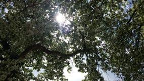 太阳通过开花的树叶子  免版税库存图片