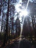 太阳通过杉木 图库摄影