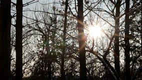 太阳通过树分支发光 股票视频
