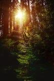 太阳通过树发出光线发光在森林里 免版税库存图片