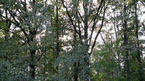 太阳通过树叶子发光在落叶林里 股票视频