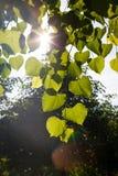 太阳通过树叶子  图库摄影