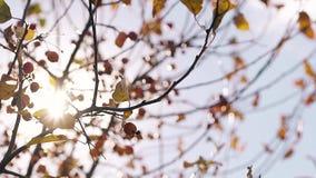 太阳通过树枝和风摇摆叶子发光 股票视频