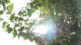 太阳通过树的叶子发光 影视素材