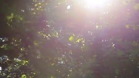 太阳通过树的绿色叶子发光 股票录像