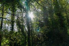 太阳通过树 免版税库存照片
