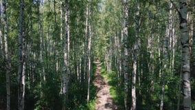 太阳通过桦树树丛的树 夹子 道路穿过桦树树丛在夏天 背景,自然 美妙的看法  影视素材