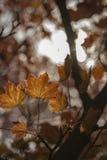 太阳通过猩红色叶子 图库摄影