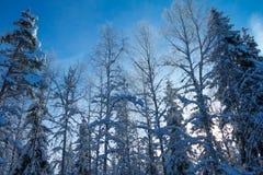 太阳通过积雪的分支发光在森林 免版税库存照片
