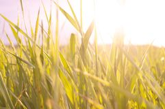 太阳通过草 免版税库存照片