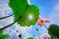 太阳通过莲花庭院叶子  免版税库存图片