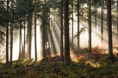 太阳通过薄雾在森林里 免版税库存图片