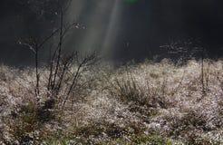 太阳通过薄雾放出照亮露水被盖的玫瑰丛 免版税图库摄影