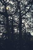 太阳通过高,阴沉,多节交错的树几乎没有发光 图库摄影