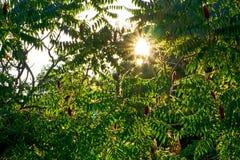 太阳通过黄栌树 库存图片