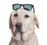 太阳镜狗 库存照片
