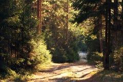 太阳,夏天绿色森林 免版税库存照片
