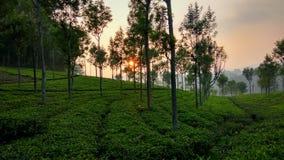 太阳从茶庄园设置了 免版税库存图片