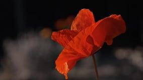 太阳` s光芒照亮鸦片花 光的反射在鸦片瓣的 影视素材