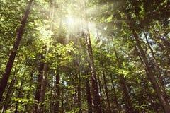 太阳` s光芒通过树做他们的方式 库存图片