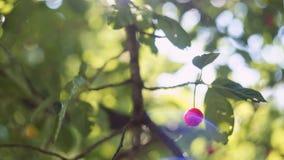 太阳` s发出光线打破樱花树的叶子 股票录像